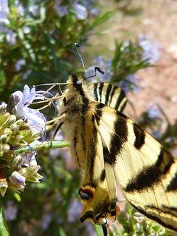 Podalirio, Scarce Swallowtail, Polidario, Xuclallet