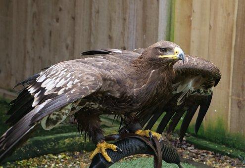 Steppe Eagle, Bird, Wildlife, Raptor, Eagle, Nature
