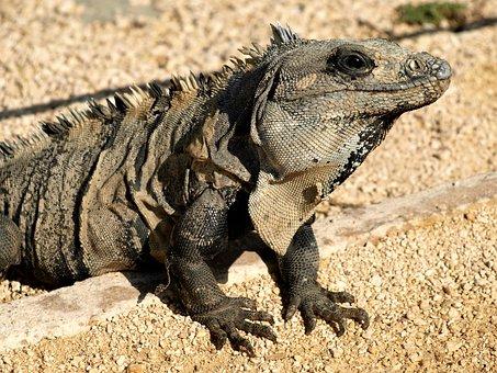 Animal, Wildlife, Nature, Wild, Reptile, Lizard, Iguana