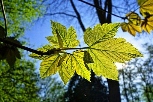 Leaf, Vein, Pattern, Young Leaf, New Leaf, Spring Green