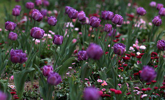 Tulips, Mov, Flowers, Supplies, Many, Decorative
