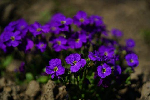 Flower, Purple, Blue Pillow, Blossom, Bloom, Violet