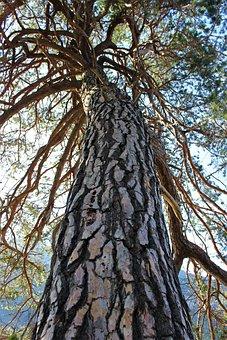 Scots Pine, Tree, Large, Wood, Nature, Huge, Plant