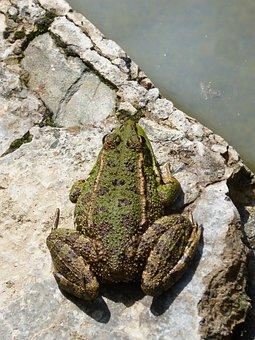 Frog, Green Frog, Amphibious, Raft, Anura, Nature