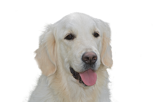 Dog Free, Golden Retriever, Pet, Hundeportrait, Animal