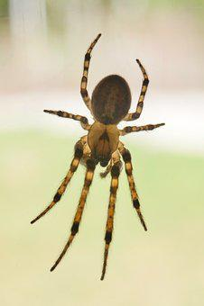 Spider, Arachnid, Insect