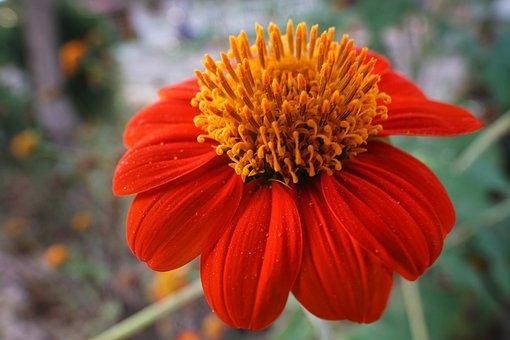 Garden Dahlia, Dahlia, Bright, Red