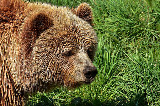 European Brown Bear, Bright Coat, Blond, Brown Bear