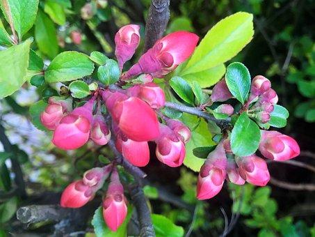 Red Buds, Bush, Spring, Nature, Landscape, Awakening