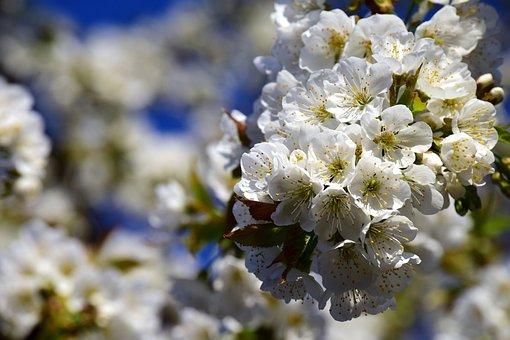 Cherry Blossoms, White, Cherry Blossom Branch, Branch