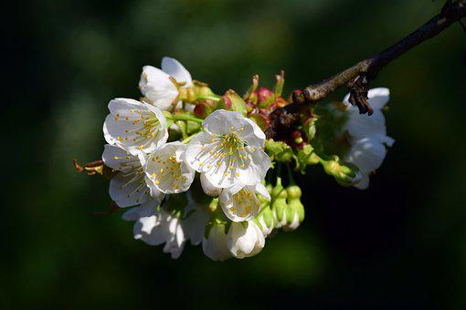 Cherry Blossoms, White, Branch, Spring, Tender