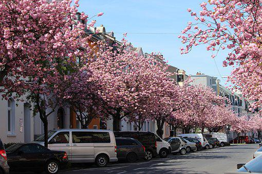 Tree, Cherry Wood, Branch, Flower, Park, Cherry Blossom