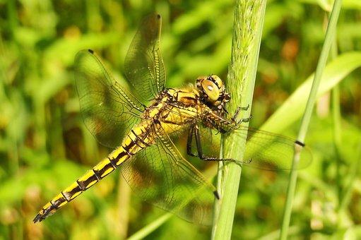 Nature, Insect, Dragonflies Różnoskrzydłe