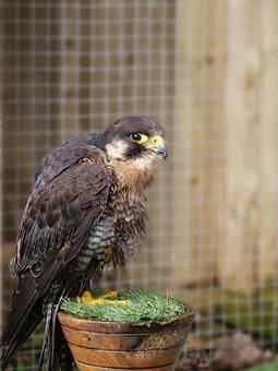 Peregrine Falcon, Falcon, Bird, Nature, Wildlife