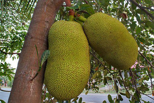 Large, Jackfruit, Growing, Tree, Nature, Flora