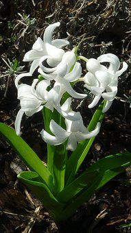 Flower, Hyacinth, Blossom, Bloom, White