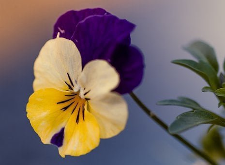 Pansy, Flower, Navy Blue, Yellow, Trójbarwny, Plant