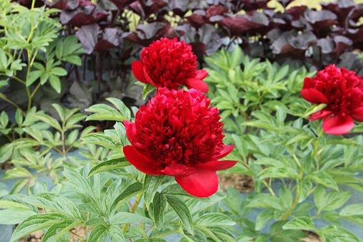 Nature, Flower, Garden, Plant, Summer, Peony