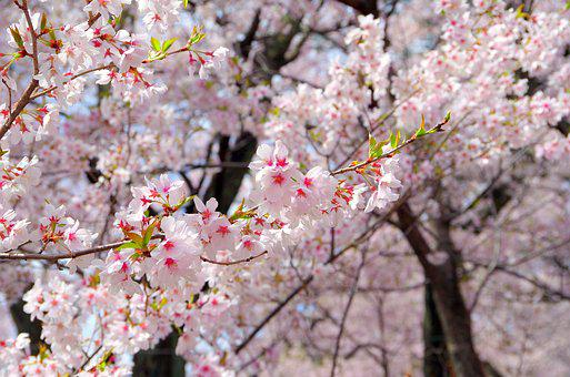 Cherry, Flowers, Wood, Branch, Plant, Co Higanzakura