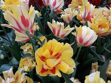 Flower, Plant, Garden, Tulip, Nature, Leaf, Floral
