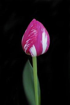 Tulip, Flower, Nature, Garden, Botanical