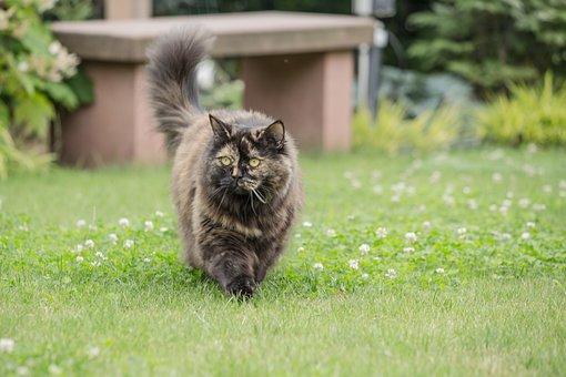 Cat, British Longhair, Breed Cat, Grass, Animal, Mammal