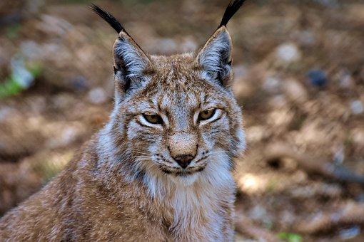 Lynx, Big Cat, Wild Animal, Wildcat, Carnivores