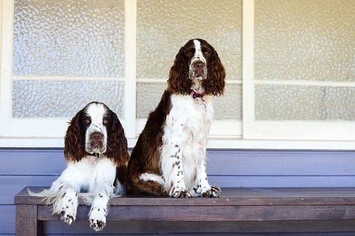 Dog, Pet, Cute, Mammal, Canine, Springer, Friendly