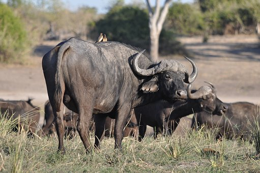 Animal, Mammal, Wildlife, Safari, Grass, Bull, Wild