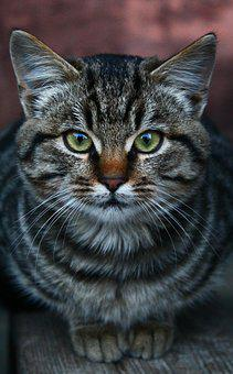 Animals, Pet, Cat, Cute, Portrait, Mammals