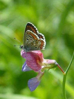 Butterfly, Aricia Cramera, Brunette, Moreneta Southern
