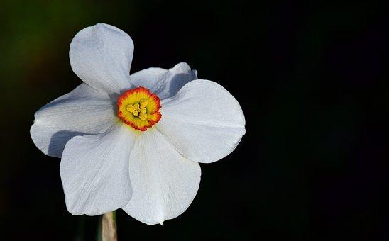 Narcissus, White, Blossom, Bloom, Schnittblume, Spring