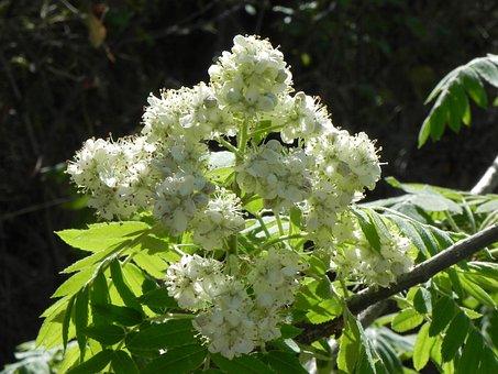 Plant, Nature, Tree, Leaf, Branch, Flower, Azarolla