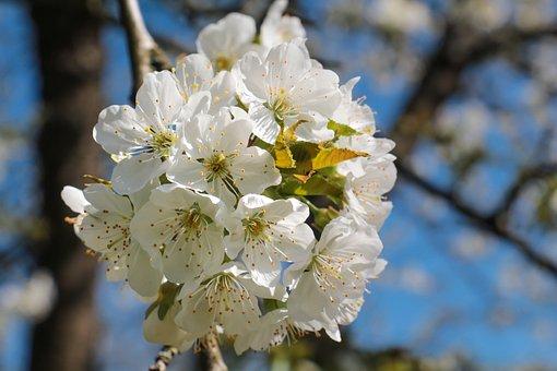 Tree, Flower, Cherry Wood, Nature, Season, Flowers