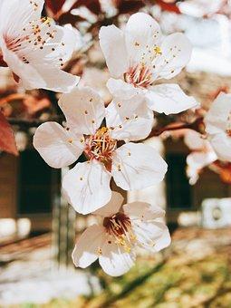 Flowers, Cherry Tree, Nature, Wood, Plants, Petal, Buds