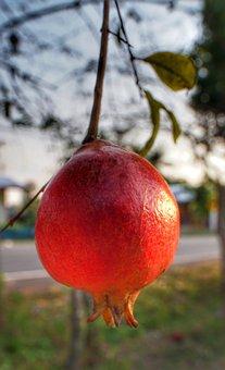 Pomegranate, Hanging, Fruit, Nature, Leaf, Outdoors