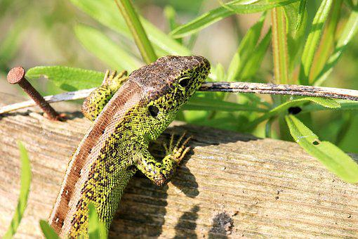 Reptile, Lizard, Nature, Animal World