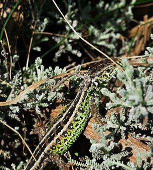 The Lizard, Common, Reptile, Nature, Animal