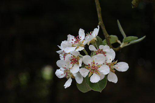 Flower Of Pear, Nature, Plant, Tree, Branch