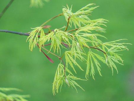 Branch, Green, Slot Maple