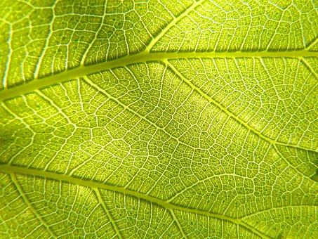 Leaf, Plant, Photosynthesis, Vein, Asymmetry, Texture