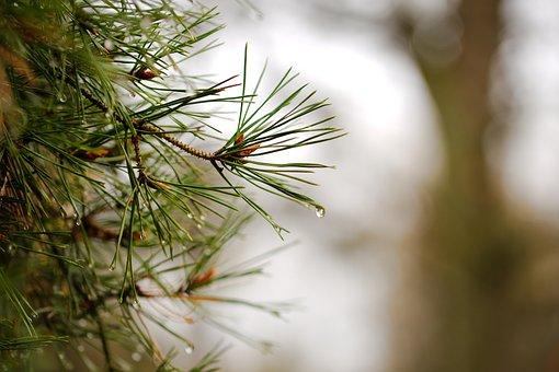 Needle, Nature, Pine, Winter, Tree, Christmas