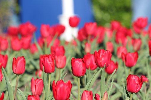Tulip, Nature, Garden, Plant