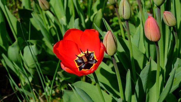 Tulips, Tulpenbluete, Blossomed