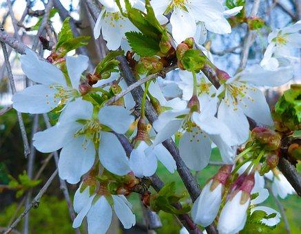 Weeping Cherry, Weeping, Cherry Tree, Flower, Tree