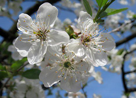 Flower, Cherry, Wood, Branch