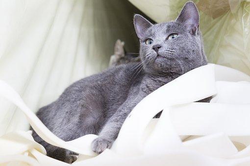 Cat, Domestic, Animal, Pet, Cute, Portrait, Grey