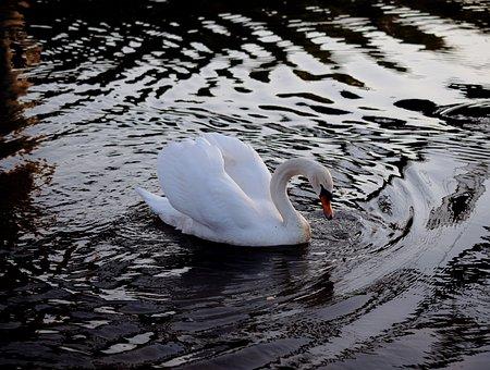 Swan, Ducks, Duck Bird, Water Bird, Swans, Animal World