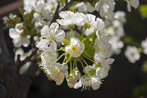 Cherry Blossom, District, Green, Yellow, Background