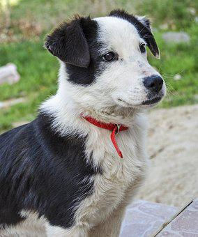 Puppy, Dog, Sheep, Black And White, Red Collar